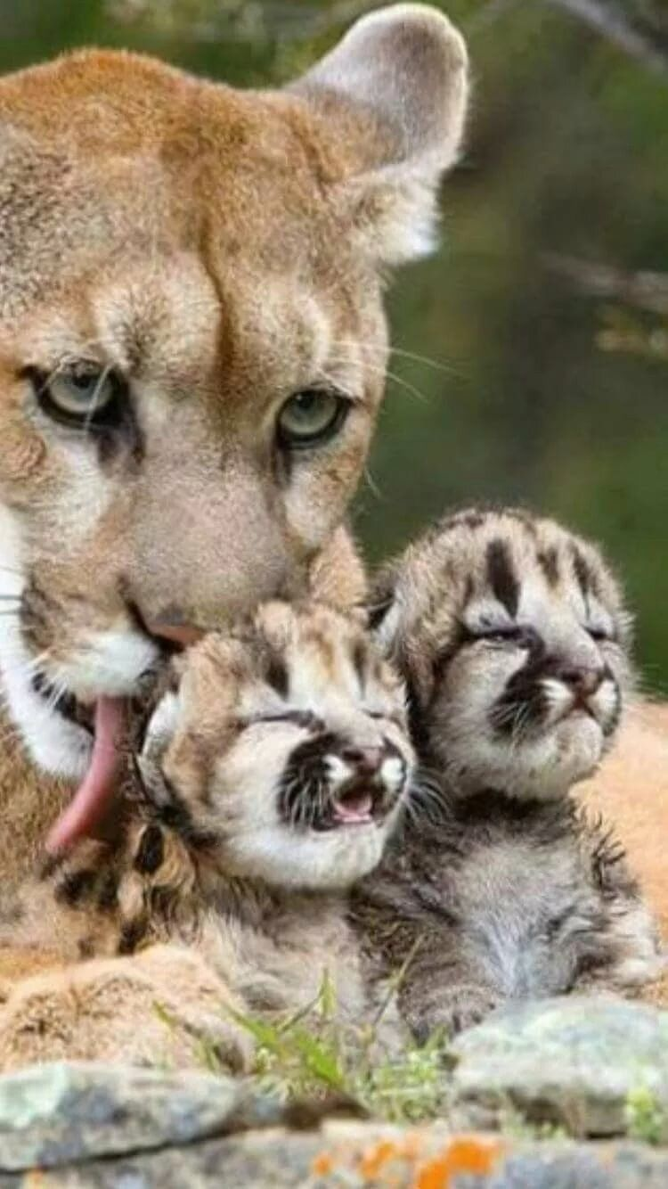 Massive Cougar with her two adorable wee kits.. Фразочки