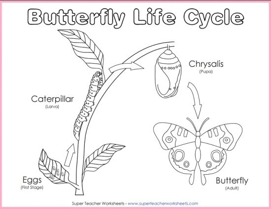 Here is a printable diagram of the life cycle of a butterfly that – Super Teacher Worksheets Science