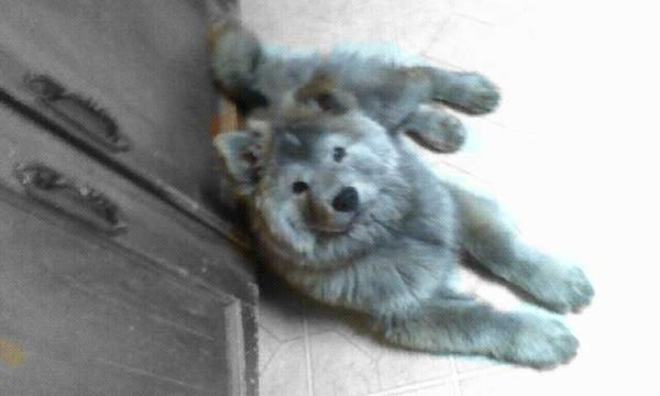 Silver Coated Chow And Husky Mix By Margret Anne Shifrin Husky