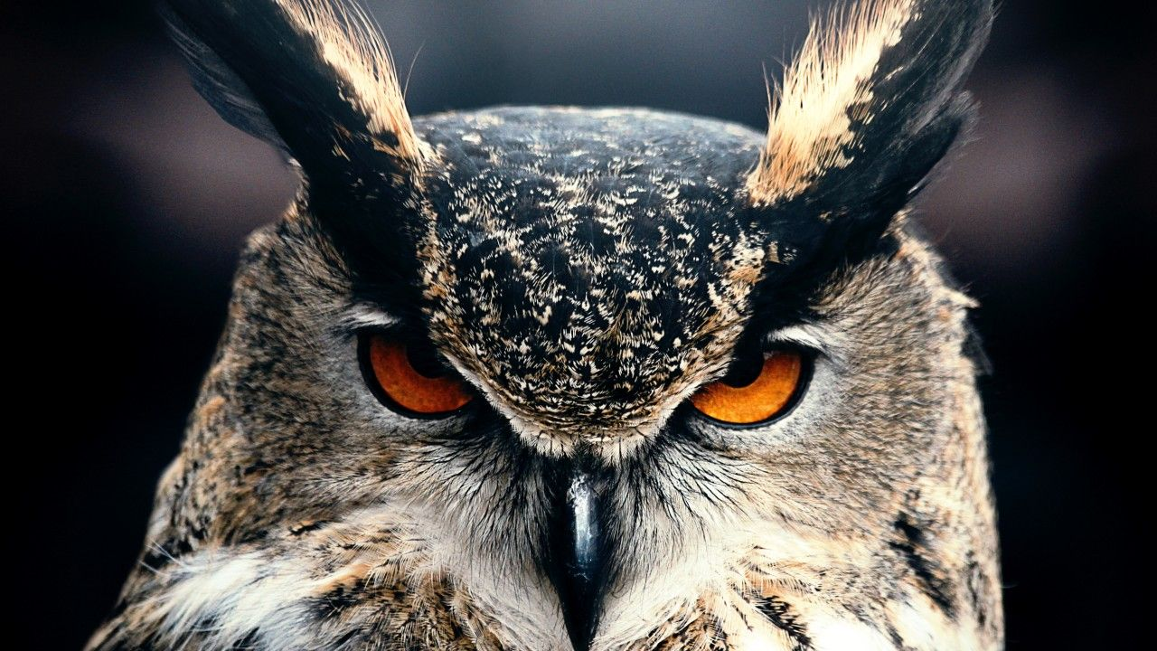 Owl, 4k, HD wallpaper, Eyes, wild, nature, gray