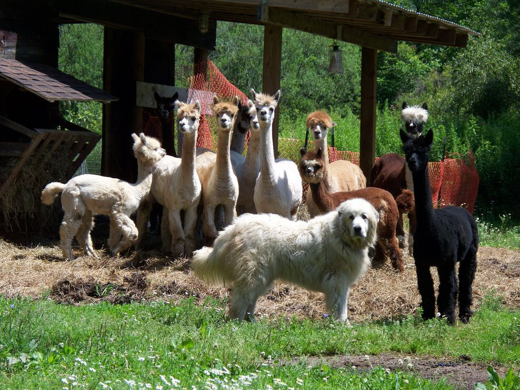 Alpaca and their Great Pyrenees guard dog, Aspen   Great ...