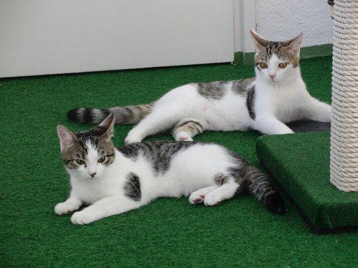 Diferentes ronroneos en los gatos