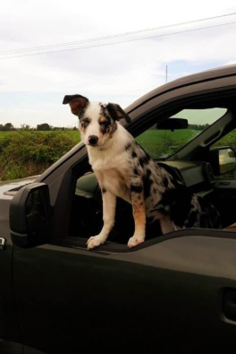 Have You Been Thinking About Adopting A Border Collie This Is Your Sign Click Here To Find Out More About Good Dog S Border Collie Collie Puppies Best Dogs