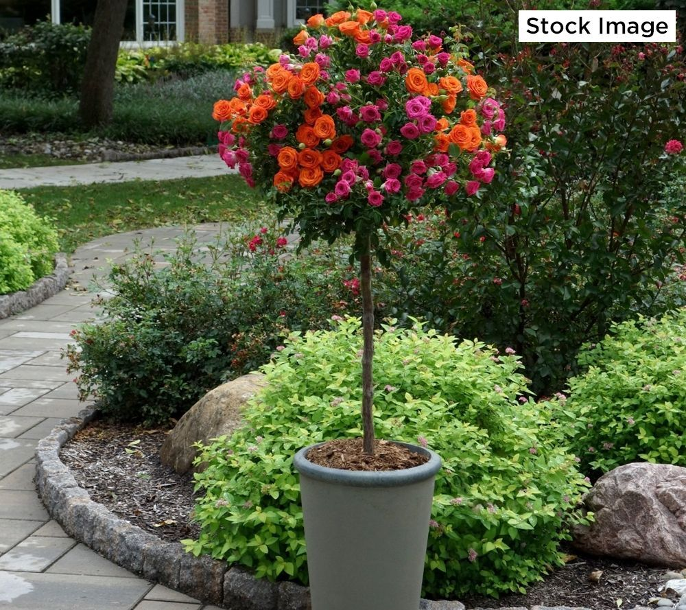 Cottage Farms Dazzling Designs 2 In 1 Sunblaze Patio Tree Rose