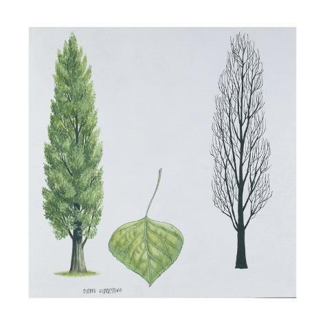 'Salicaceae - Black Poplar or Lombardy Poplar Populus Nigra Var. Italica' Giclee Print - | Art.com