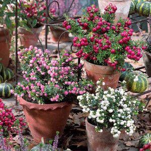 Gaultherias (1 rose + 1 blanc + 1 rouge)