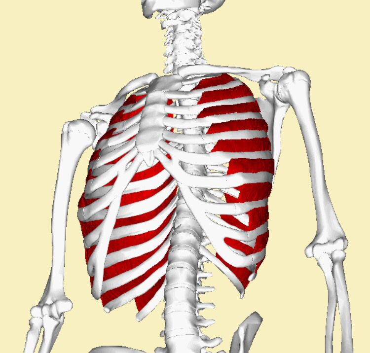 external intercostals: each lower border of each bony rib, except, Human Body