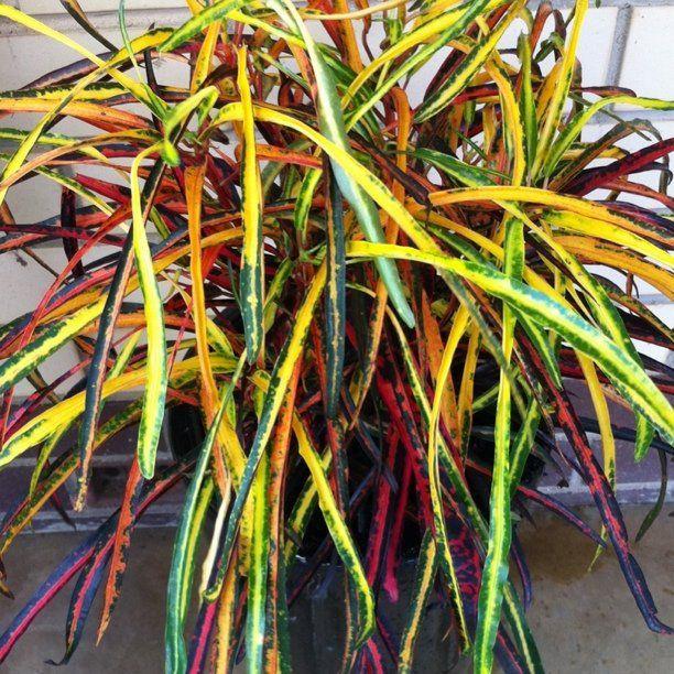Croton 39 zanzibar 39 a c guide to fall annuals for Croton plant