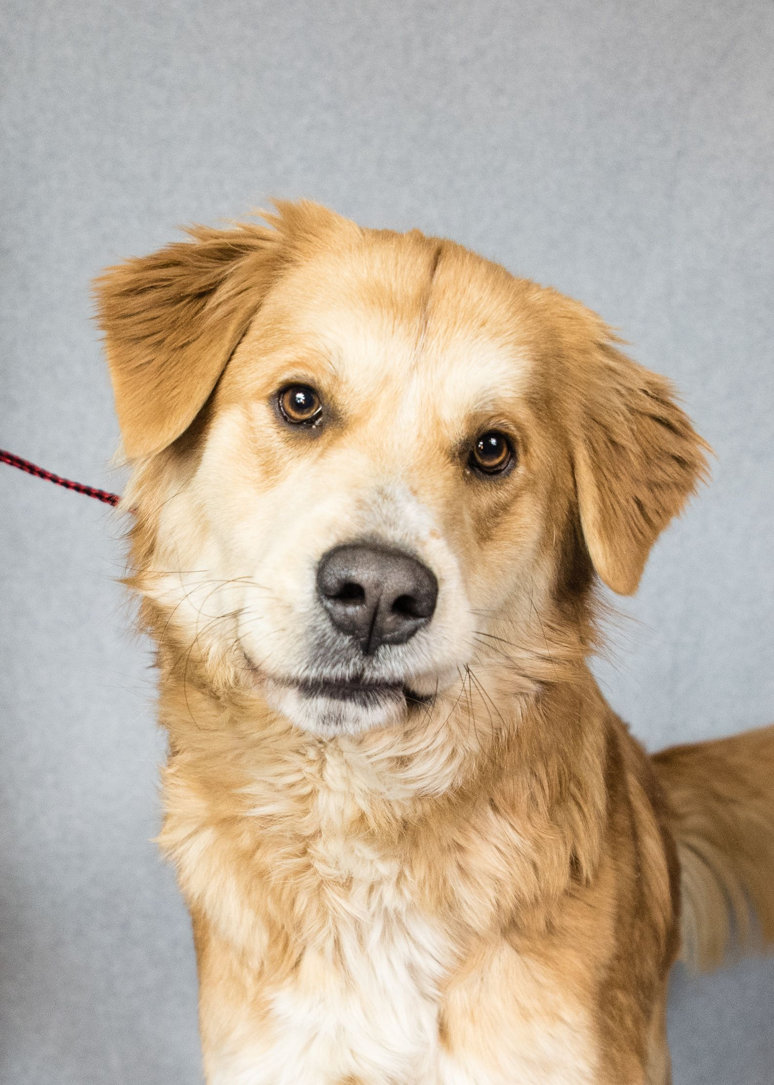 Adopt Sawyer On Petfinder Golden Retriever Labrador Retriever Puppies Dogs Golden Retriever