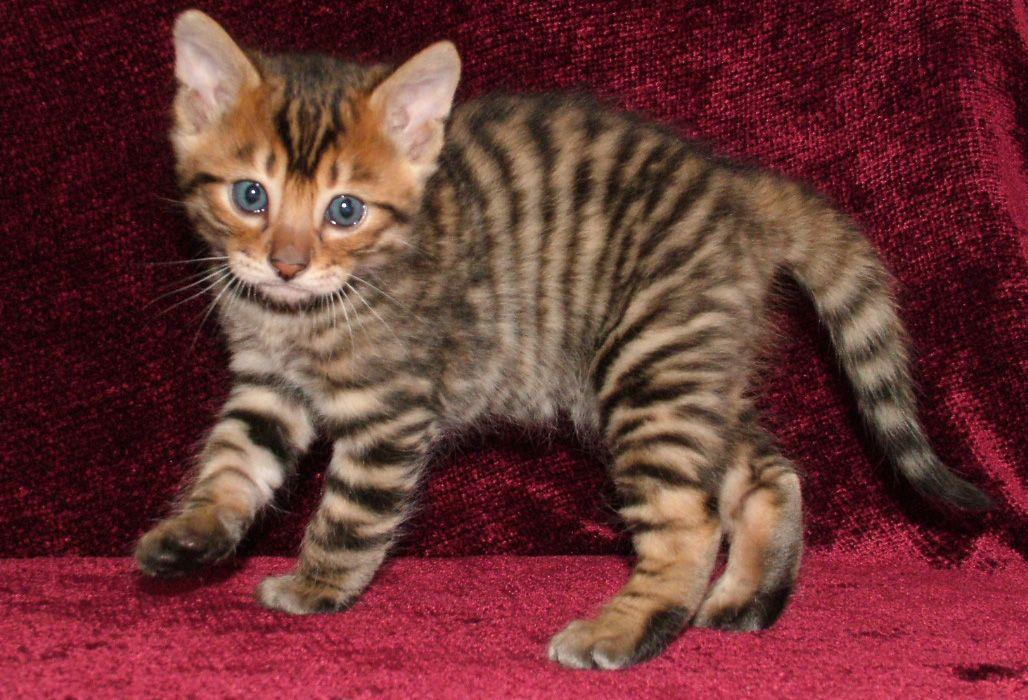 Google Image Result For Http Www Primaevalcats Com Pictures Pasiphae 27s 20fi Toyger Kitten Cat Breeds Hybrid Cat