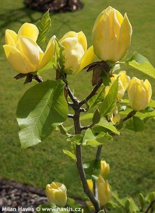 Magnolia x brooklynensis yellow bird 29 magnolias pinterest magnolia x brooklynensis mightylinksfo Gallery