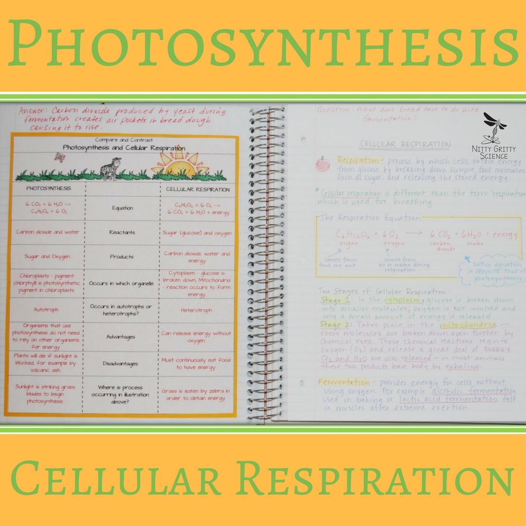 Cell Processes Energy Nitty Gritty Science Photosynthesis Photosynthesis And Cellular Respiration Teaching Biology [ 1080 x 1080 Pixel ]