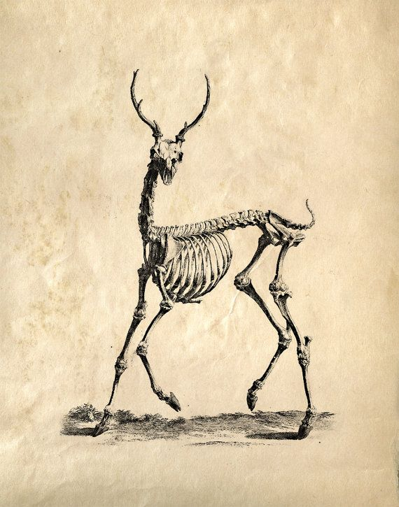 11x14 Vintage Science Animal Study  Deer Skeleton