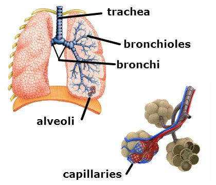 a diagram of lungs showing trachea, bronchi, bronchioles, alveoli, and  capillaries