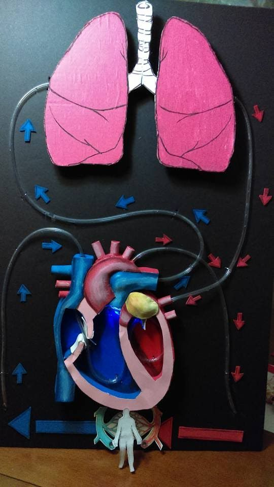 Image result for circulatory system project ideas | school ...