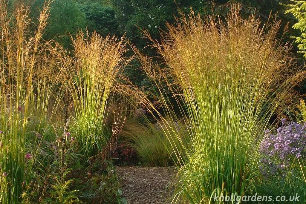 Molinia skyracer knoll gardens ornamental grasses and for Perennial ornamental grasses