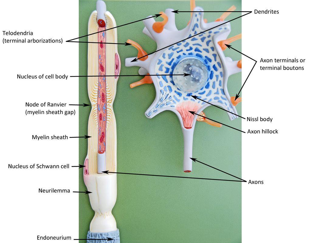 Human Anatomy | anatomy | Pinterest | Anatomy