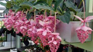 Pflege für eine Medinello - Philiipinische Orchidee Zimmerpflanze 411, #eine #für #Medinello #orchideenpflege #eine #für #Medinello #Orchidee #Pflege #Philiipinische #zimmerpflanze Pflege für eine Medinello - Philiipinische Orchidee Zimmerpflanze 411,  #eine #für #Medinello...        Pflege für eine Medinello - Philiipinische Orchidee Zimmerpflanze 411,  #eine #für #Medinello #Orchidee #Pflege #orchideenpflege