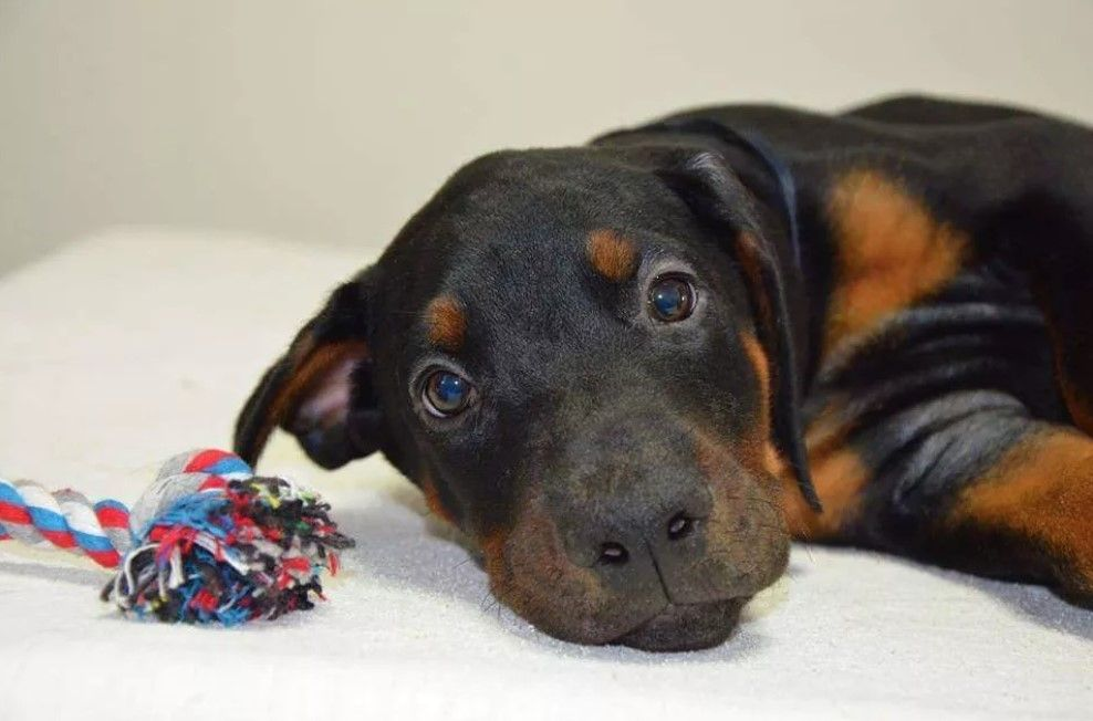 70 Male Doberman Pinscher Dog Names Doberman Pinscher Dog Names