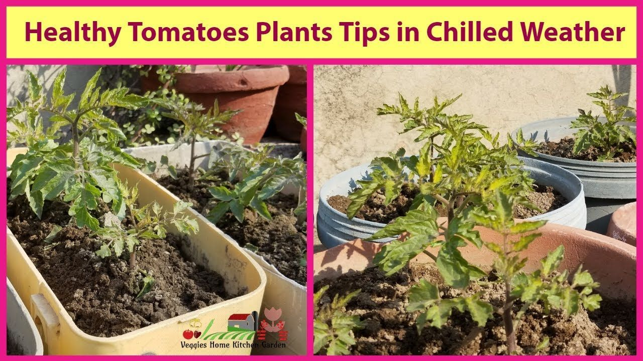 Tomatoes Healthy Plants After Transplant From Disposable Tray In 2020 Plants Tomato Healthy Healthy Plants