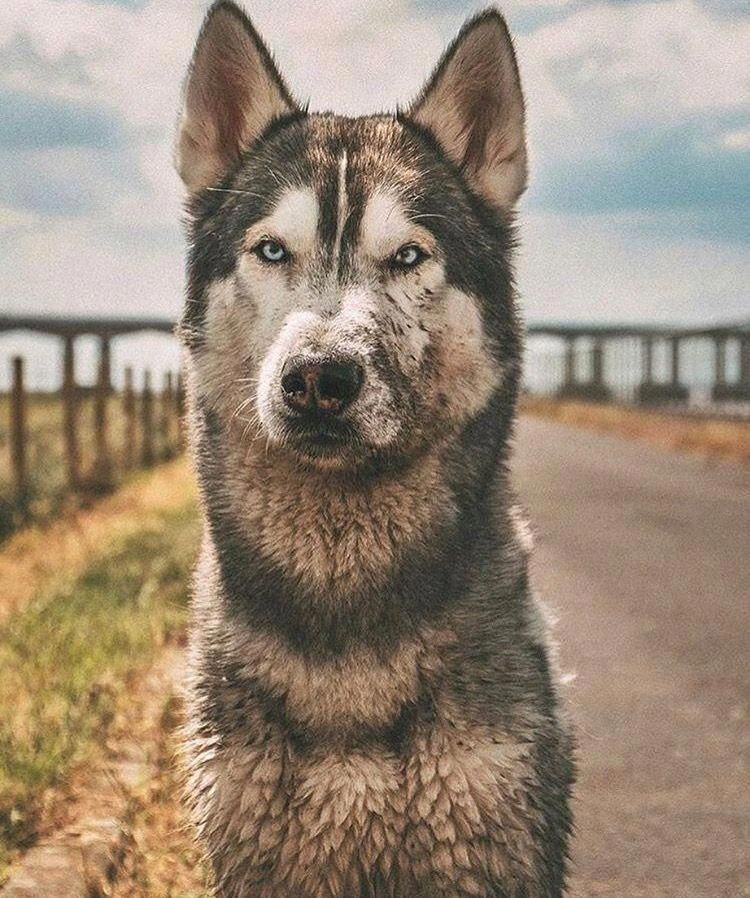 Discover Athletic Siberian Huskies Dogs Temperament