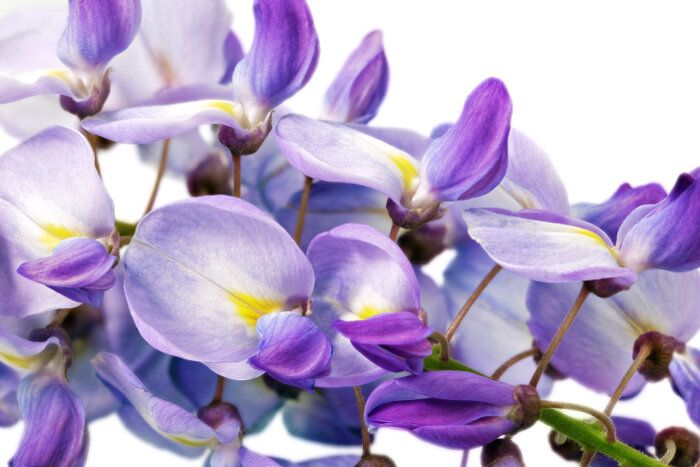 Wisteria Flower Is Means Warm Welcome And Playfulness But It Also Can Carry The Meaning Of Poetry Youth And Conservatory Garden Language Of Flowers Wisteria
