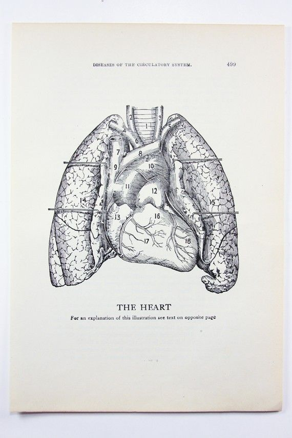 1923 Human Anatomy Illustration The Heart by OldTimersClub | PLAYS ...