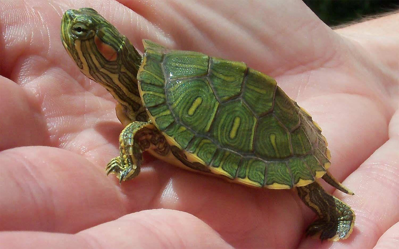 Aquatic Turtles For Sale Near Me Baby Turtles For Sale Online Water Turtles Turtles For Sale Baby Turtles Slider Turtle