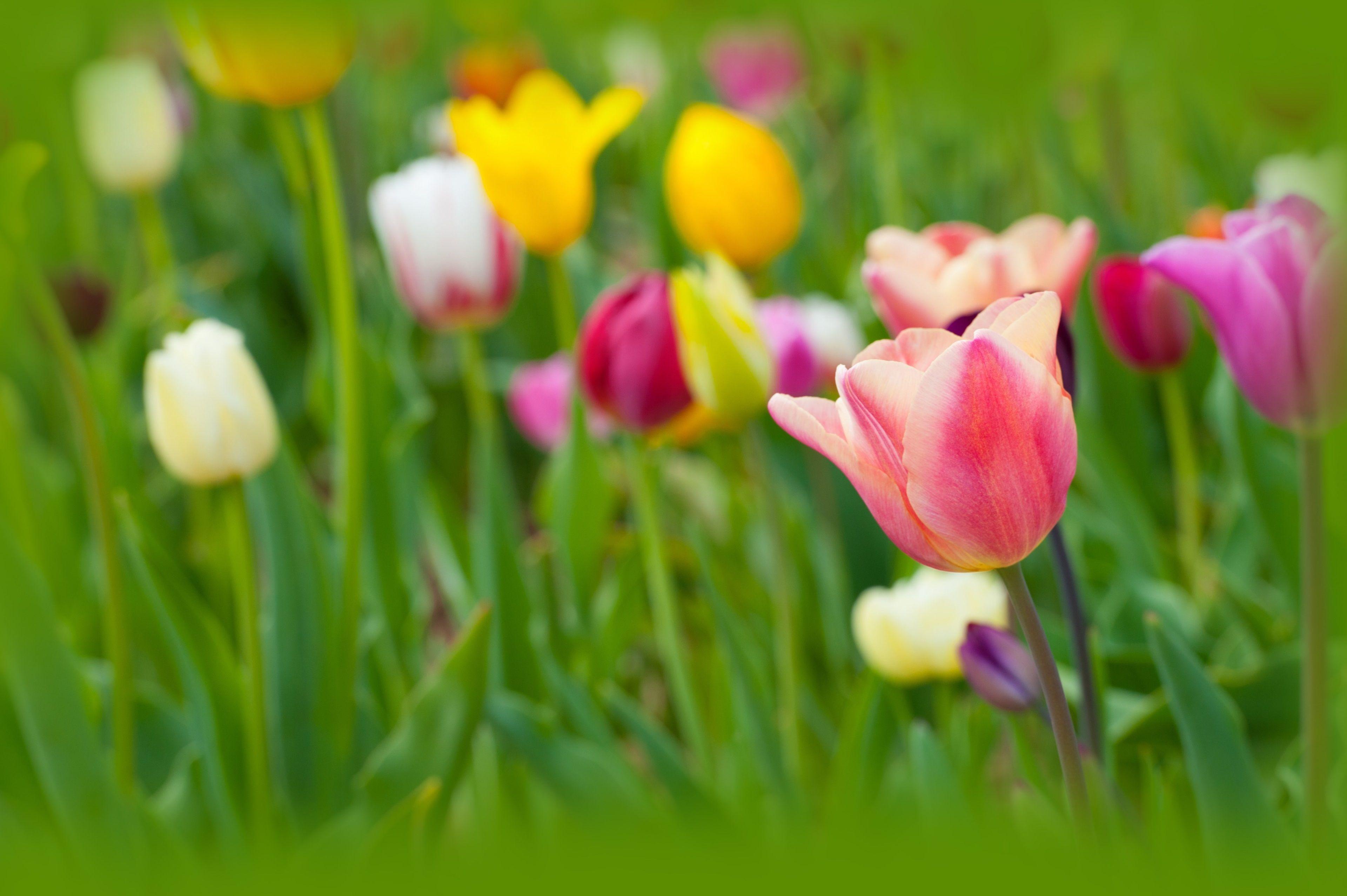 3840x2555 tulips 4k desktop wallpaper hd widescreen Best