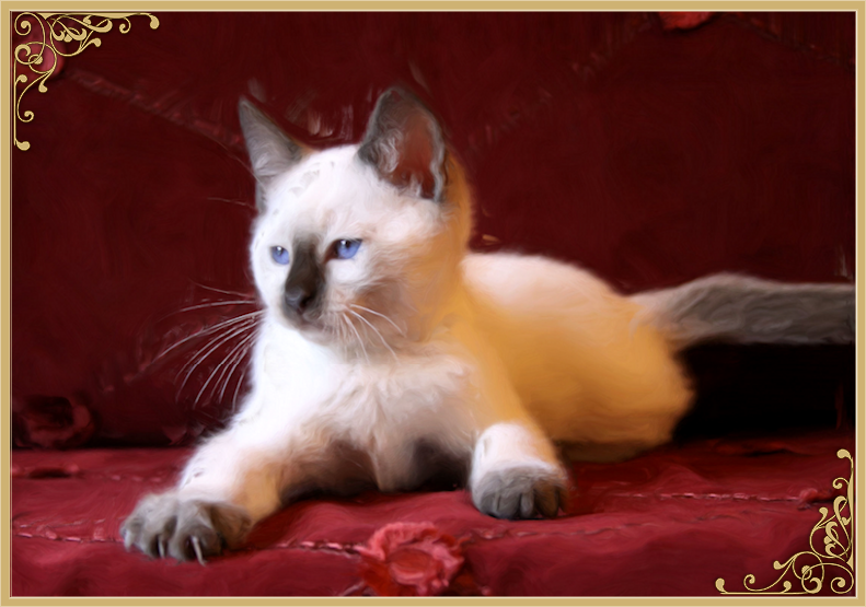 Traditional Siamese Kittens For Sale Applehead Siamese Cat Breeders Balinese Siamese Cat Breeders Siamese Cats Siamese Kittens