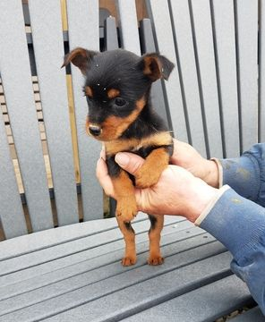 Yorkie Pin Puppy For Sale In Arthur Il Adn 28121 On Puppyfinder Com Gender Female Age 8 Weeks Old Yorkie Puppies For Sale Puppies