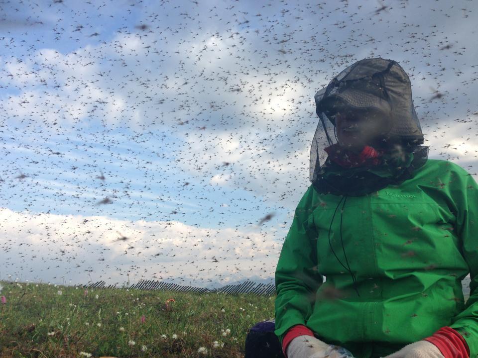 Worst swarm of Alaskan mosquitoes ever?