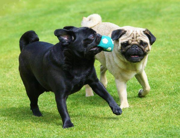 Vet Journals Ban B Pugs Dogs