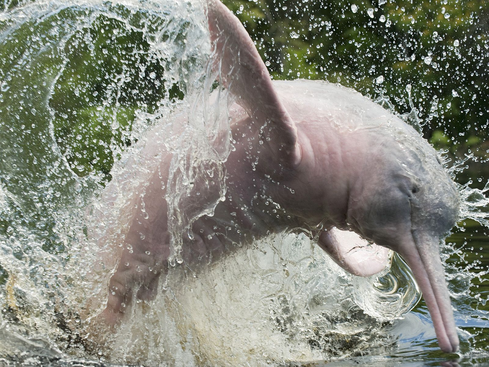 Amazon River Dolphins The Decline Of The Amazon River Dolphin