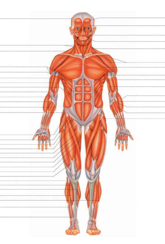 Músculos del cuerpo humano - Doctissimo | ANATOMIA | Pinterest | Anatomy