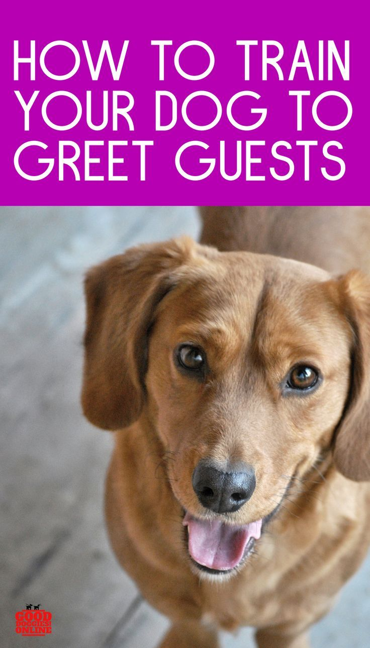 How To Train Your Dog To Greet Visitors Training Your Dog Your