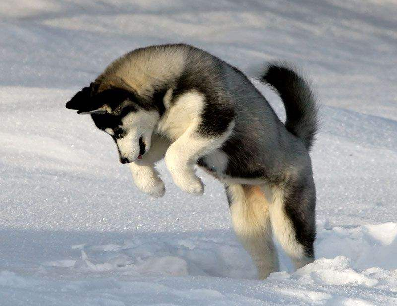 Cute Husky Puppies In Snow Wallpaper Cute Husky Puppy