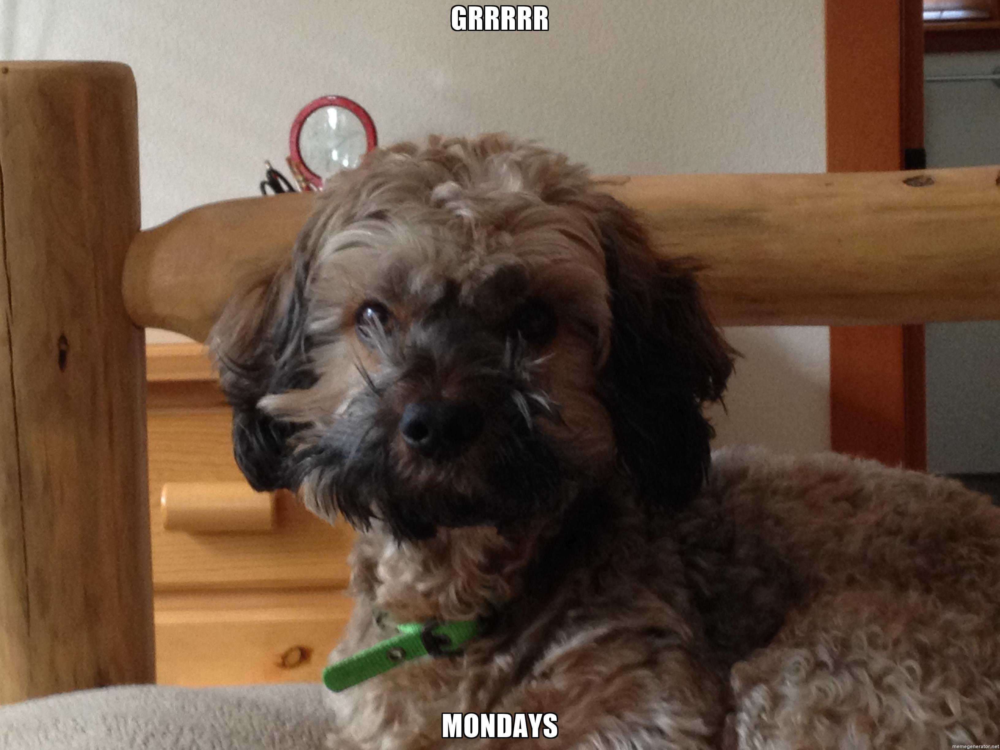 Grrrrr mondays mondaypoodle pup poodle dogs