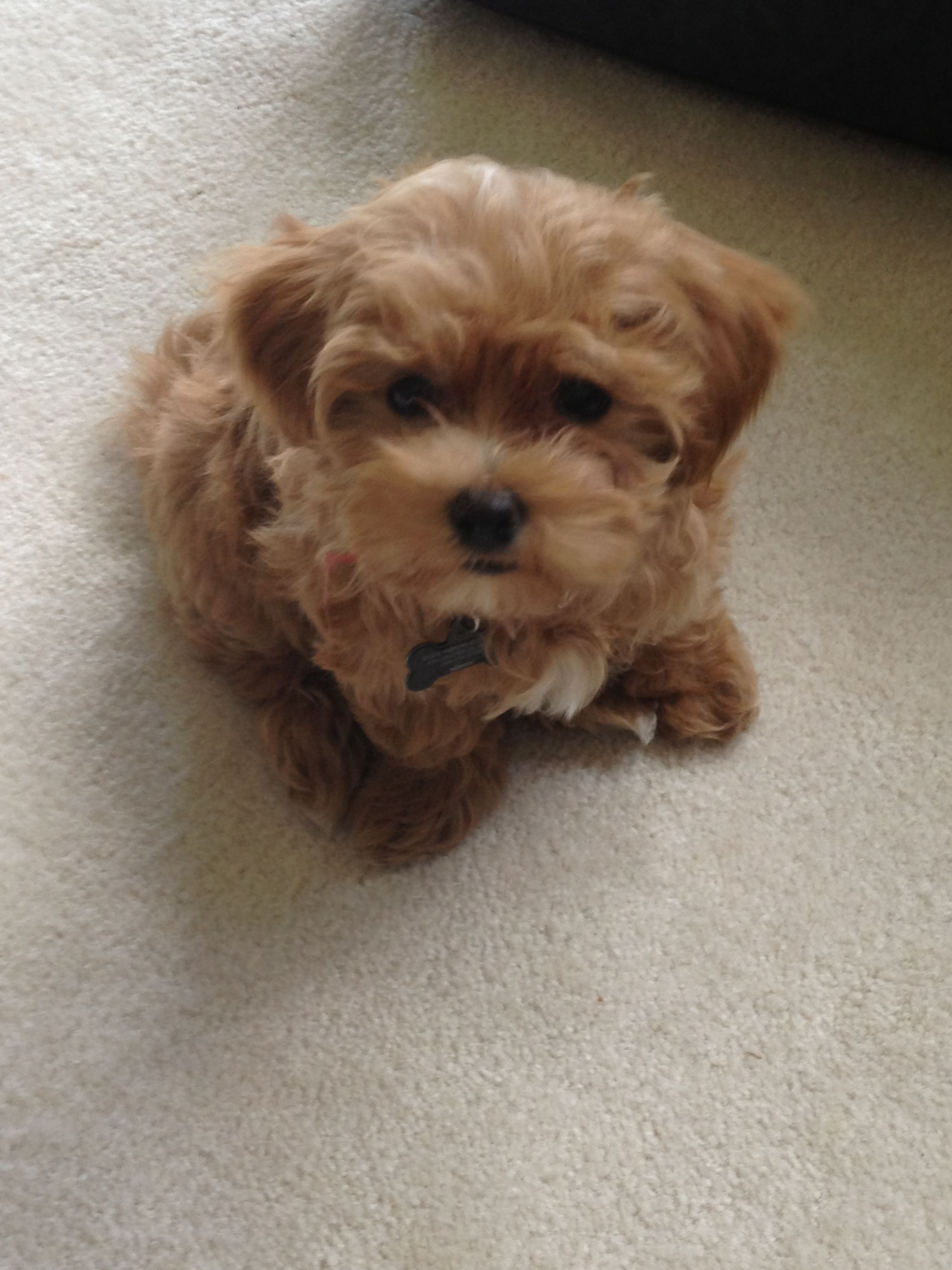 Pin By Caitlyn Hubbard On Randoms Maltipoo Puppy Puppies And Kitties Cute Dogs