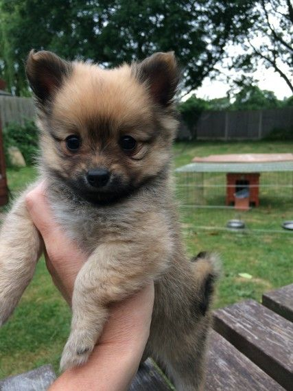 Quality Little Pomchi Pups Pomchi Puppies Pomchi Dogs Mixed