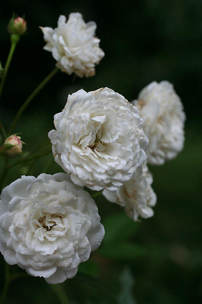 Polyantha Rose: Rosa 'Schneewittchen' (Germany, 1901)