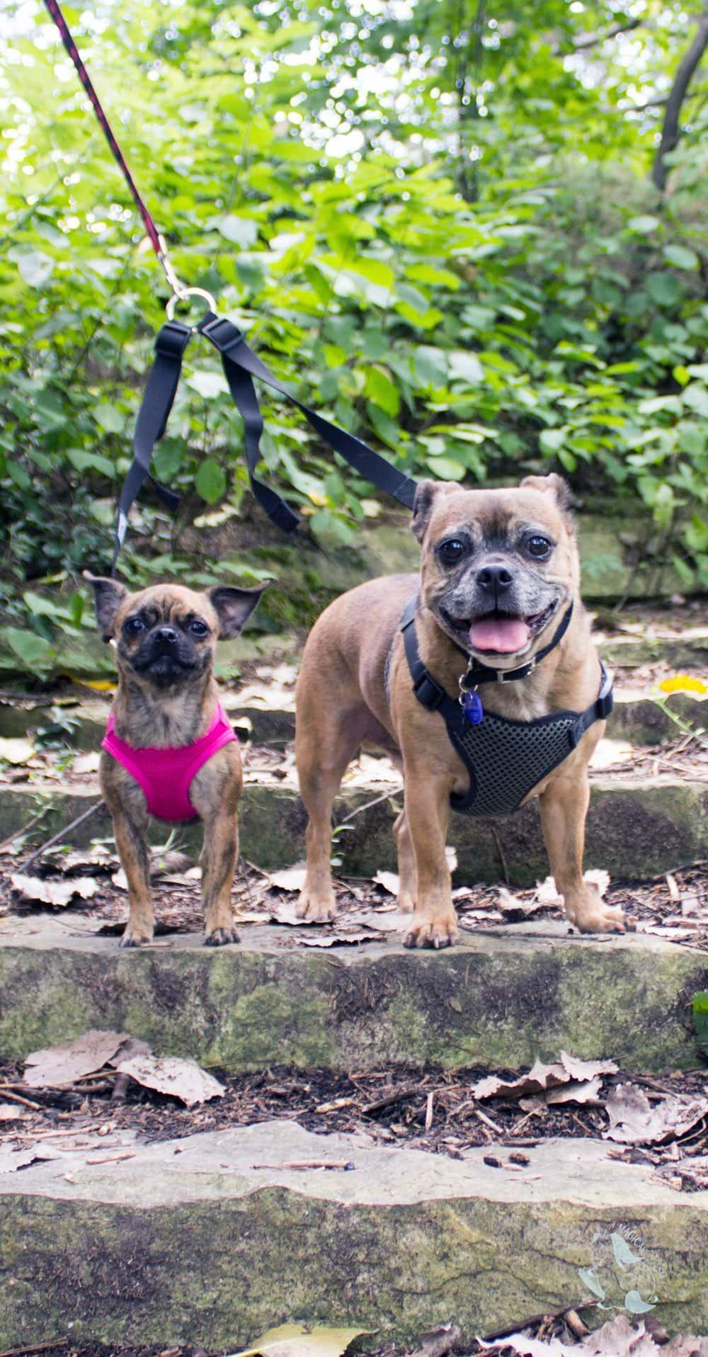 Pug Chihuahua Mix Puppies Black Ideas