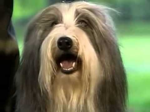 Beared Collies Ch 2 Collies Collie Bearded Collie Dogs