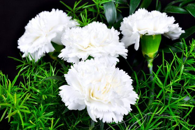 White Carnations Photo White Carnations Ljworld Com Carnation Plants White Carnation Carnations