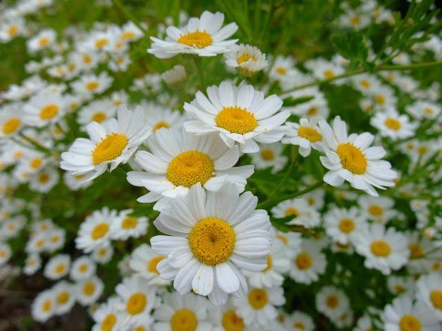 Feverfew Feverfew Herbalism Natural Healing Herbs