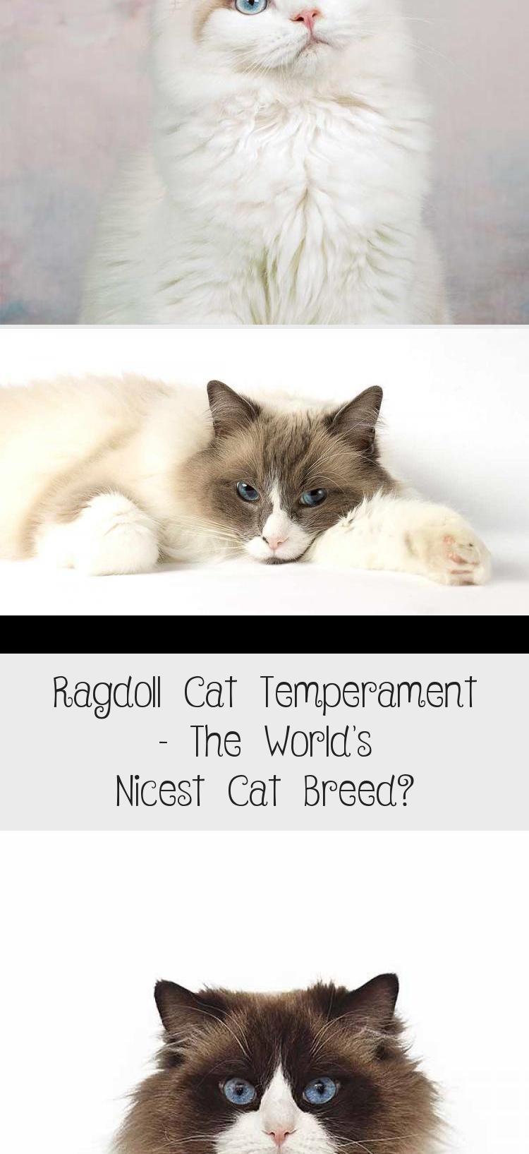 Ragdoll Cat Temperament The World S Nicest Cat Breed Cat Breeds Ragdoll Cat Breed Best Cat Breeds