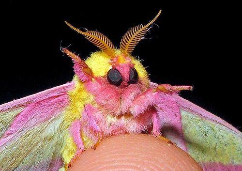 Hi Ya Rosy Maple Moth Rosy Maple Moth Cute Moth Weird Insects
