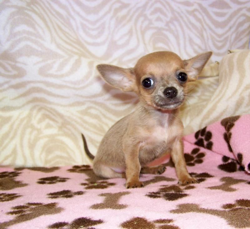 Adopt Amber On Pug Puppies Baby Chihuahua Puppy Care