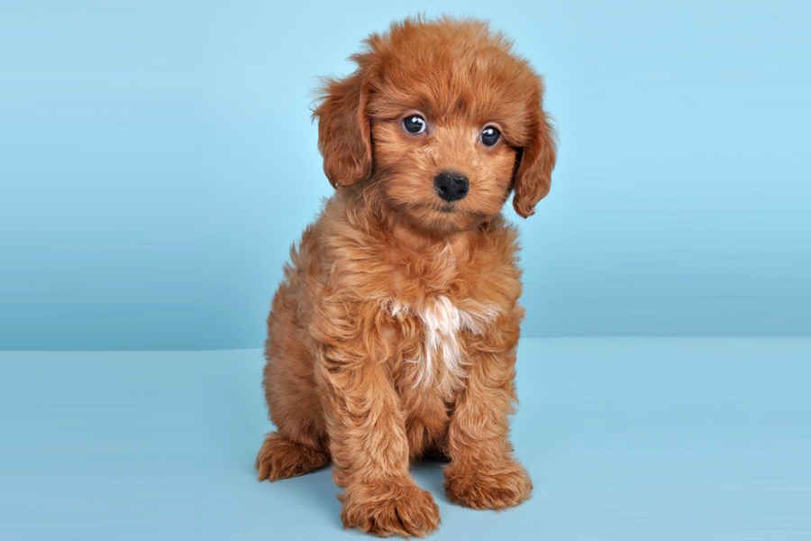 Poodle Mix Breeds Doxiepoo Dachshund Poodle Poodle Mix Breeds