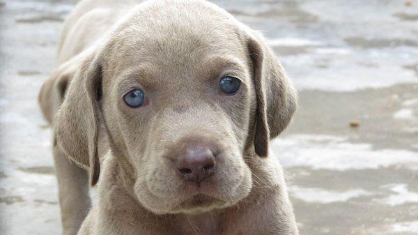 Dogs For Sale In Ireland Weimaraner Puppies Dogs For Sale Weimaraner